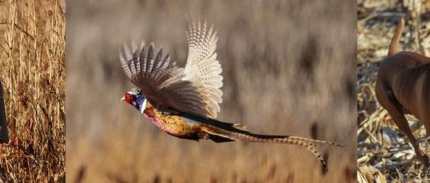 Pheasant Hunting in NW Kansas